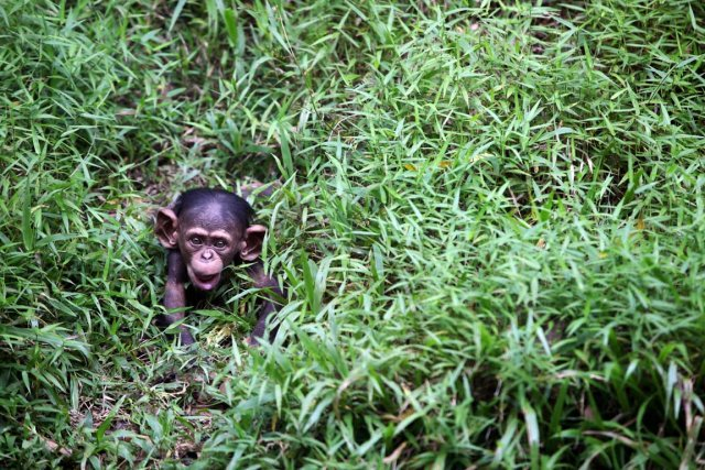 Le commerce international des chimpanzés, bonobos et gorilles... (PHOTO MOHD RASFAN, AFP)