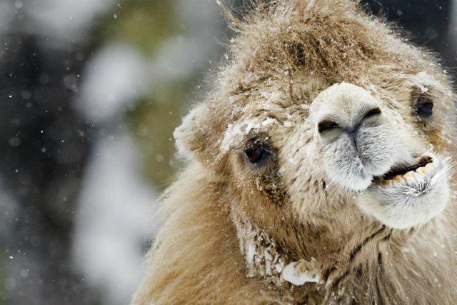 C'est en Arctique que le chameau a commencé à rouler sa bosse voici des... (Photo archives AFP)