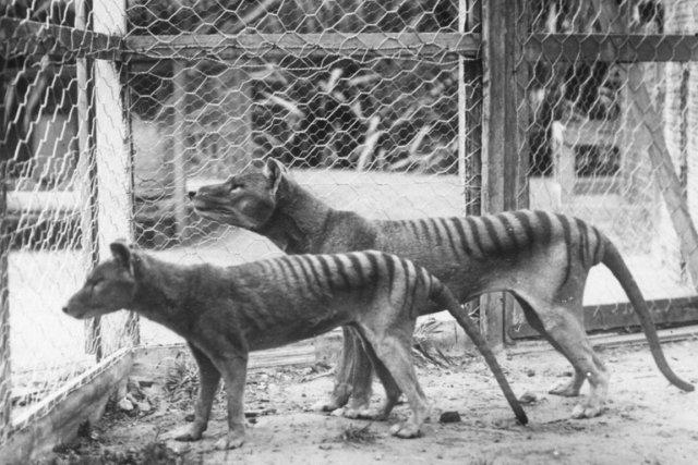Ressemblant à un chien, le tigre de Tasmanie... (PHOTO AFP)
