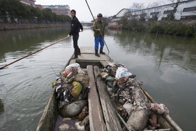 Les porcs auraient été jetés à l'eau par... (Photo : AP)