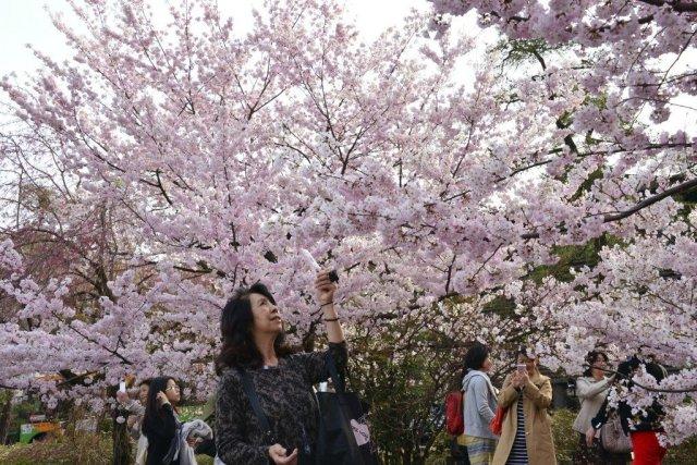 La saison des cerisiers en fleurs bat son plein tokyo japon - Greffe du cerisier au printemps ...