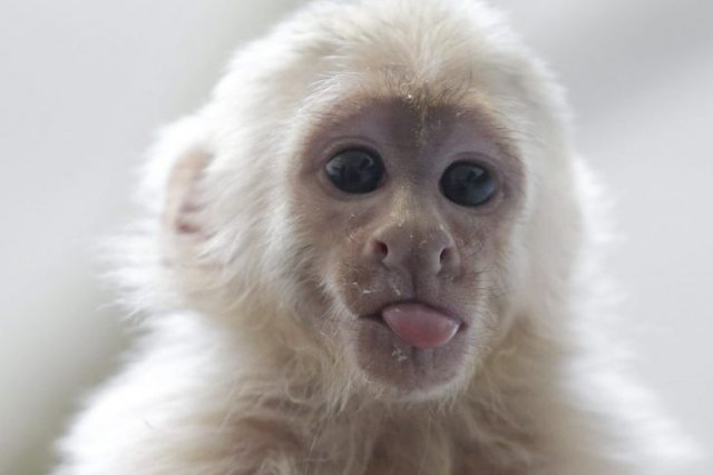 Mally, le singe du chanteur canadien Justin Bieber,... (Photo: AP)