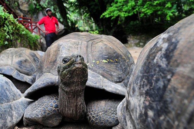 Les tortues comptent parmi les vertébrés les plus... (PHOTO ALBERTO PIZZOLI, AFP)