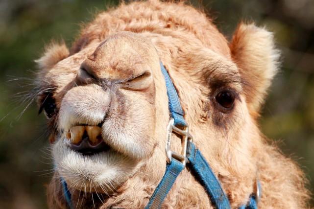 Un chameau a tué son propriétaire américain en le mordant, en le piétinant et... (Photo Archives AP)