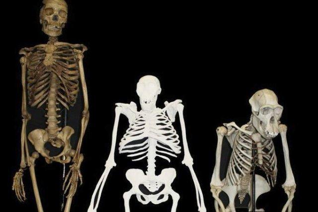 L'Australopithèque Sediba, vieux de deux millions d'années, est... (PHOTO LEE BERGER, AFP)