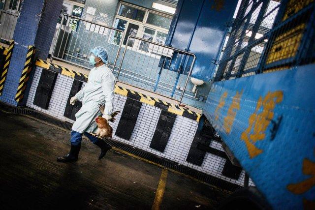 Le fait que de nombreuses volailles porteuses du... (PHOTO PHILIPPE LOPEZ, AFP)