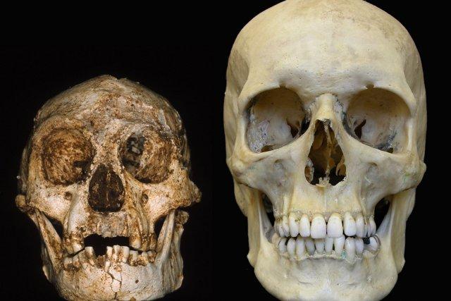 Les crânes d'un Homo floresiensis et d'un Homo... (Photo fournie par la revue Nature)