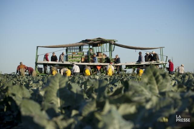 Les quarts de travail des travailleurs agricoles atteignent... (Photo Ninon Pednault, La Presse)
