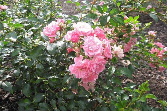 des fleurs pour maman | larry hodgson | horticulture
