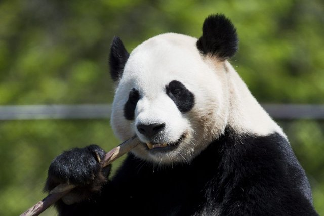 Le panda Da Mao mange du bamboo au... (Nathan Denette, La Presse Canadienne)
