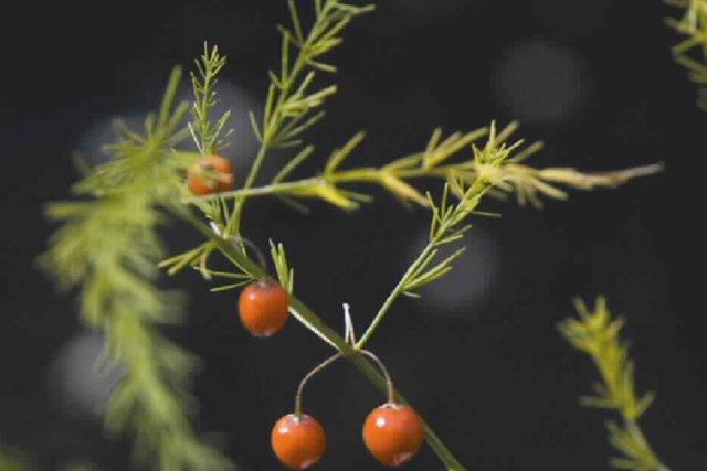 L'asperge est une plante vivace, qui se pare... (Photo Archives La Presse)