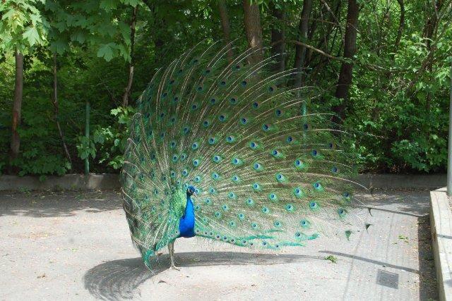 Un paon qui s'était échappé d'un jardin zoologique de Moncton, au... (Photothèque La Presse)