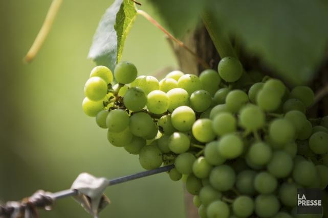La plupart des vignobles québécois ont eu des... (PHOTO OLIVIER PONTBRIAND, LA PRESSE)