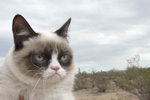 Tard, mieux connue sous le nom de«Grumpy Cat»sera... (PHOTO TIRÉE DE GRUMPYCATS.COM)