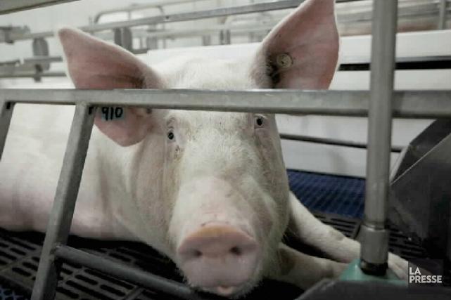 Les quelque 250 travailleurs de l'usine d'abattage et de découpe de porc...