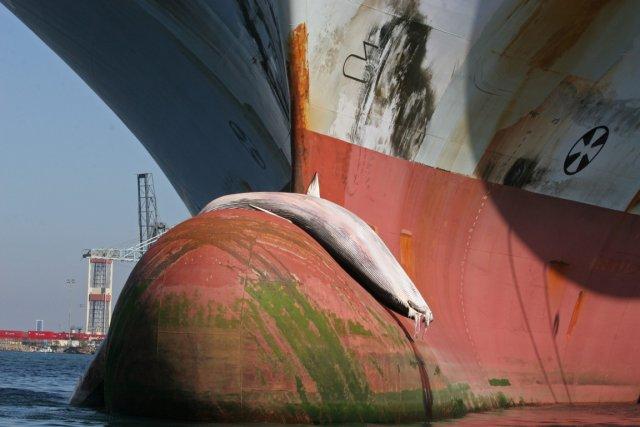 116 baleines sont décédées en 2012.... (PHOTO Alisa Schulman-Janiger, AP)