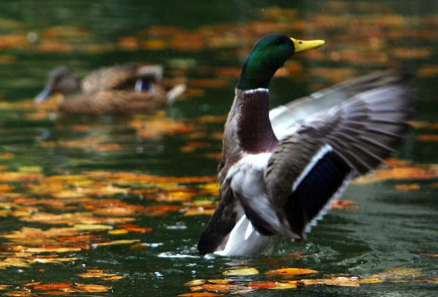 Le canard colvert... (PHOTO PIERRE-PHILIPPE MARCOU, AFP)