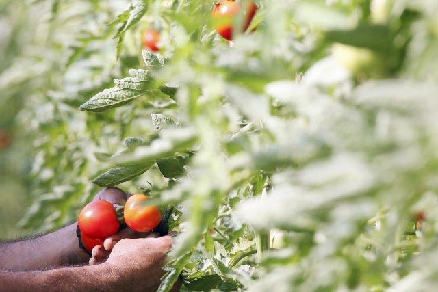 La société Bioparques de Occidente vend ses tomates... (PHOTO PAULO WHITAKER, ARCHIVES REUTERS)