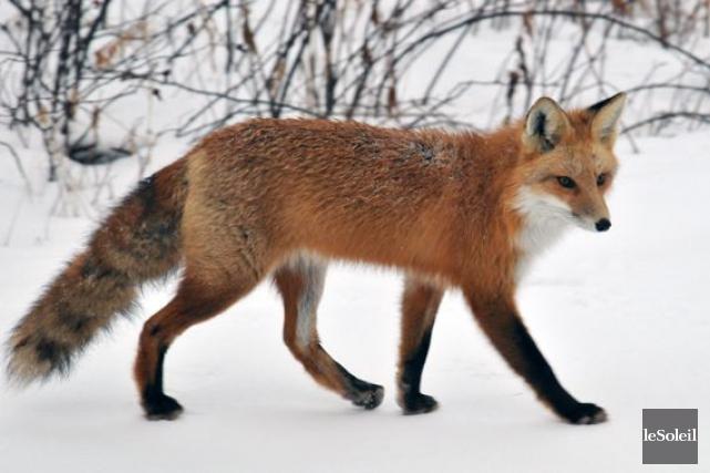 Le piégeage du renard est autorisé présentement. Toutefois,de... (Photothèque Le Soleil)