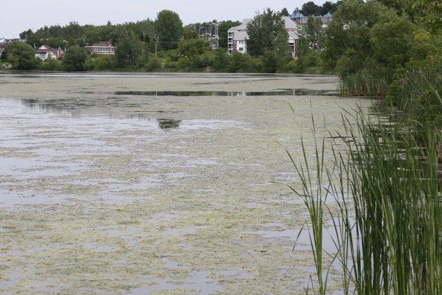 Le lac Boivin est envahi depuis quelques jours... (Alain Dion)
