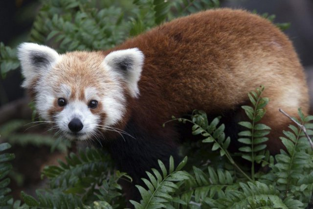 Rusty le panda.... (PHOTO SMITHSONIAN INSTITUTION/ NATIONAL ZOO)