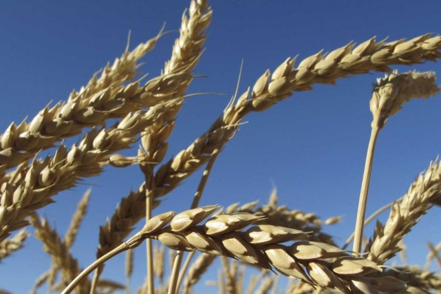 La Commission canadienne du blé (CCB) achète une entreprise spécialisée dans la... (Photo Reuters)