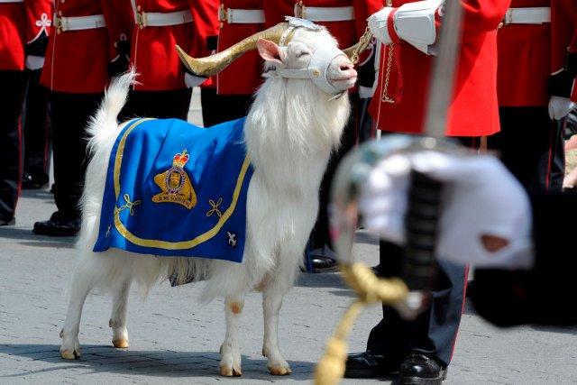 La mascotte du Royal 22e Régiment est de... (Le Soleil, Erick Labbé)