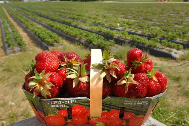 pire r colte de fraises en 30 ans au bas saint laurent carl th riault agro alimentaire. Black Bedroom Furniture Sets. Home Design Ideas
