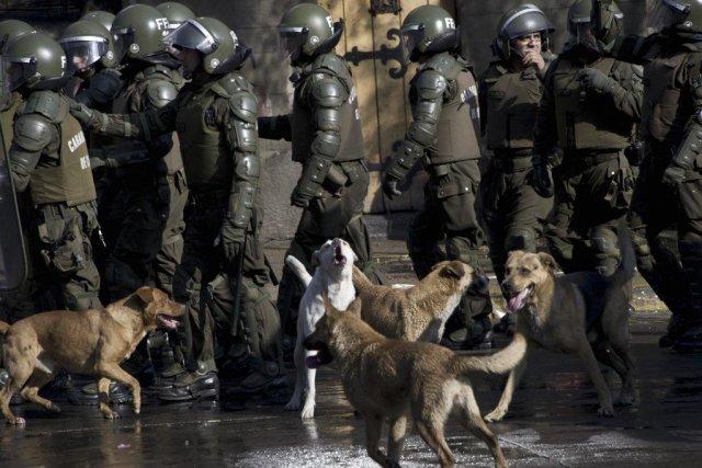 Des dizaines de chiens ont suivi des policiers... (PHOTO MARTIN BERNETTI, AFP)
