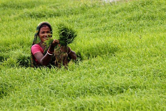Une femme ramasse du riz en Inde.... (Photo AP)