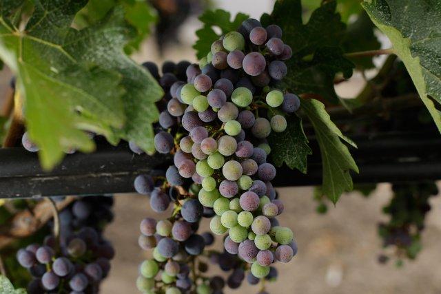 L'alcool a un rôle prépondérant à jouer dans le goût et le bouquet des vins,... (Photo AP)