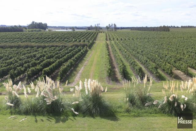 Le vignoble de Juanico est l'un des plus... (PHOTO SYLVAIN SARRAZIN, LA PRESSE)