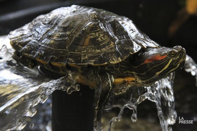 Un Chinois souhaitant prendre l'avion avec sa tortue de compagnie a tenté de se... (Photo archives La Presse)