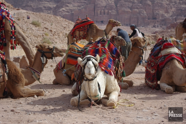 Les dromadaires sont populaires au Moyen-Orient où ils... (Photo Marie Tison, La Presse)