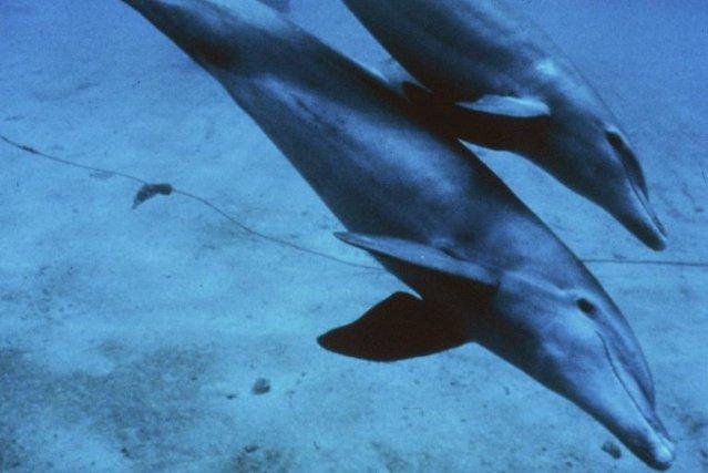 De la trentaine de dauphins à nez blanc qui étaient piégés dans la glace au... (PHOTO AFP/NOAA)