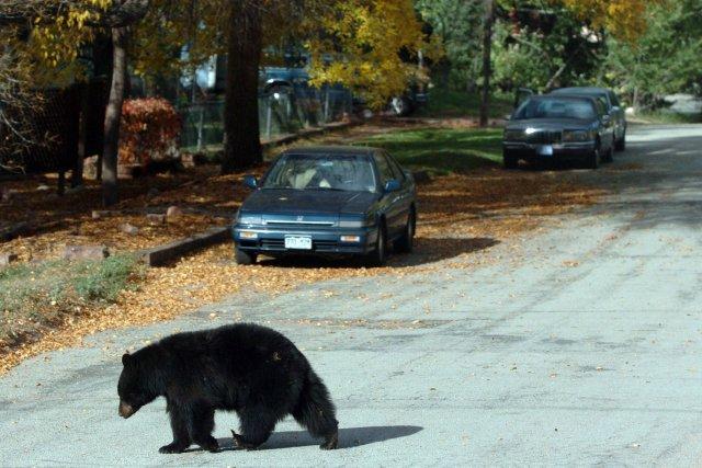Cette fois, ce n'est pas Boucle d'Or qui s'est invitée dans la famille d'ours,... (Photo Sammy Dalla, archives AP)