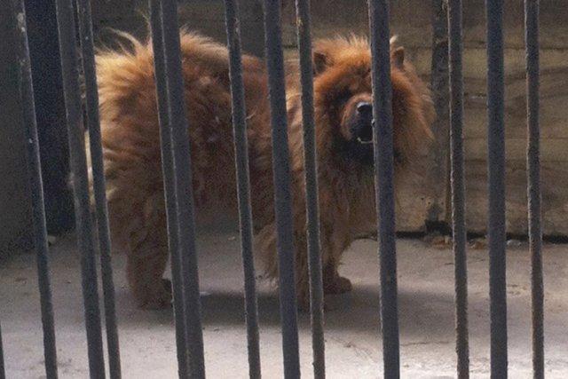 un zoo chinois faisait passer un chien pour un lion insolite. Black Bedroom Furniture Sets. Home Design Ideas