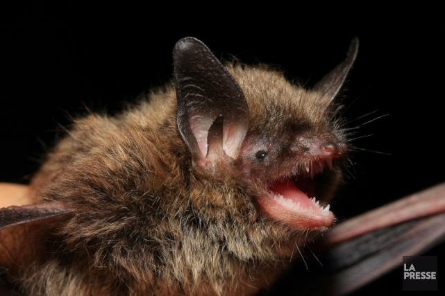 Les secrets de la long vit des chauves souris sciences - Image de chauve souris ...