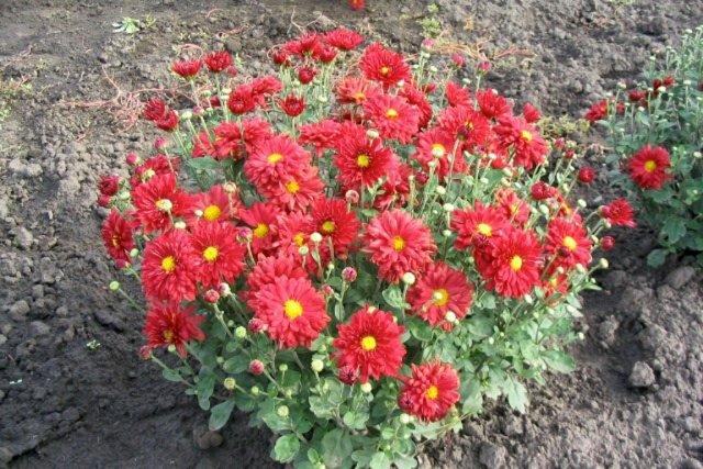 Le chrysanthème est le symbole même de l'automne....