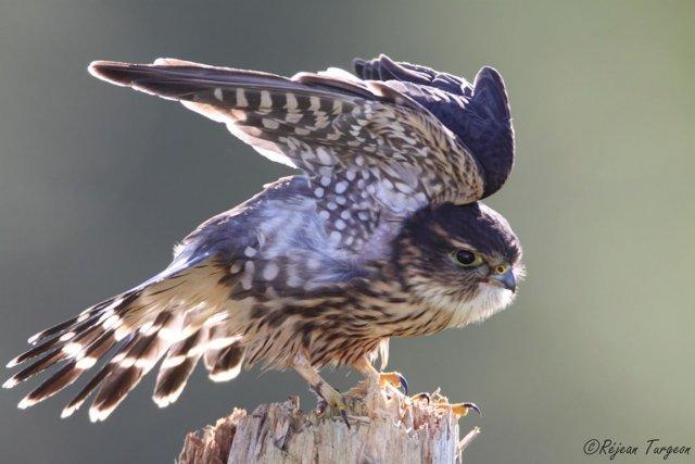 En pleine chasse - Ce petit faucon émerillon... (Photo Réjean Turgeon)