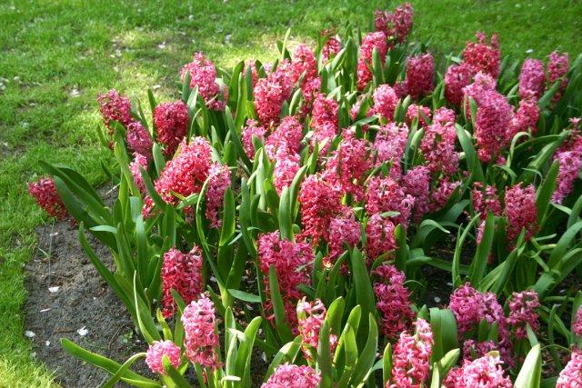 La plus parfumée des fleurs du printemps