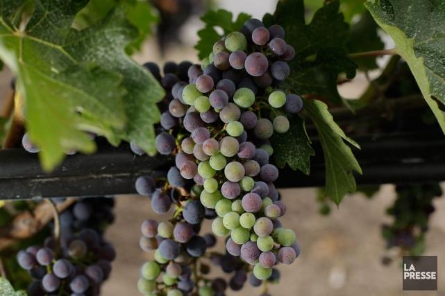 Que les amateurs de vin se rassurent, les professionnels n'ont aucune... (Photo AP)