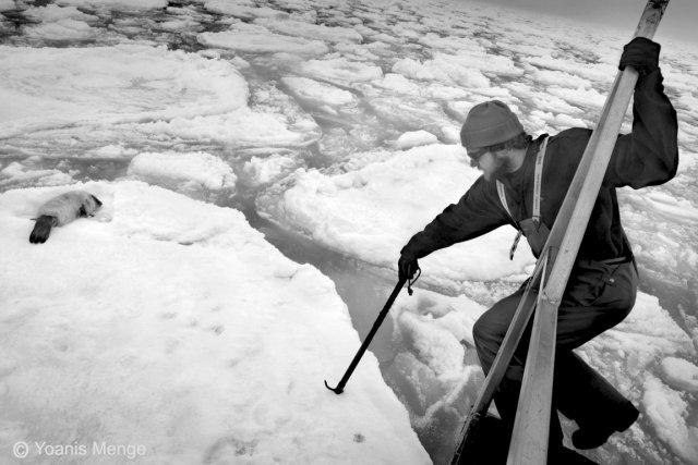 6000 peaux de phoques ont été jetées dans... (Collaboration spéciale Yoanis Menge)