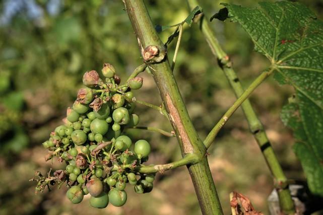 Des raisins abimés par les averses dans la... (PHOTO ARCHIVES AFP)