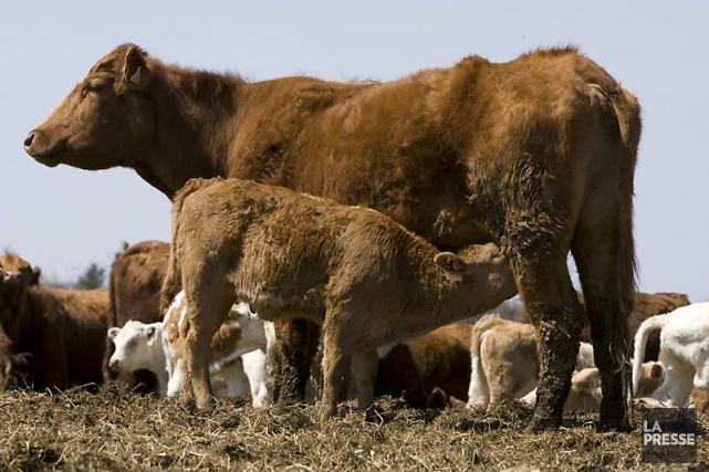 Les exportations de boeuf européen aux États-Unis sont... (Photo André Tremblay, Archives La Presse)