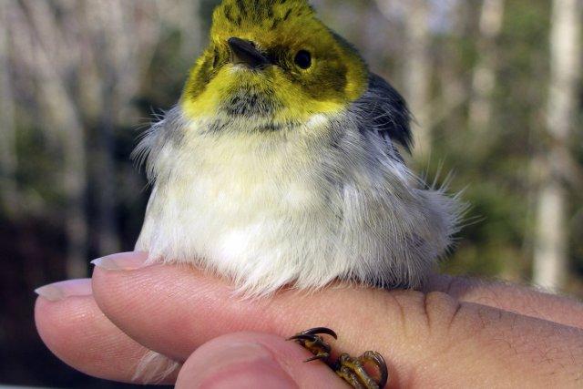 Cette petite paruline mâle à tête jaune a... (Photo Pascal Côté)