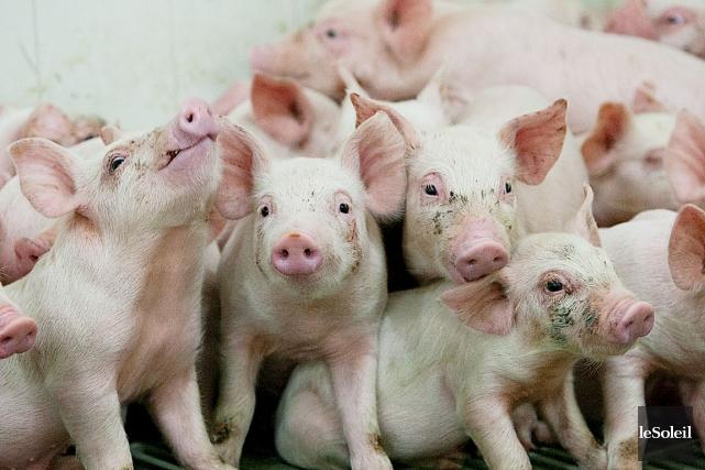 Un groupe qui représente les éleveurs porcins de... (Photothèque Le Soleil)