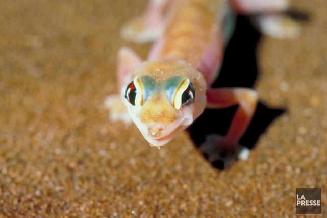 Un gecko.... (Photothèque La Presse)