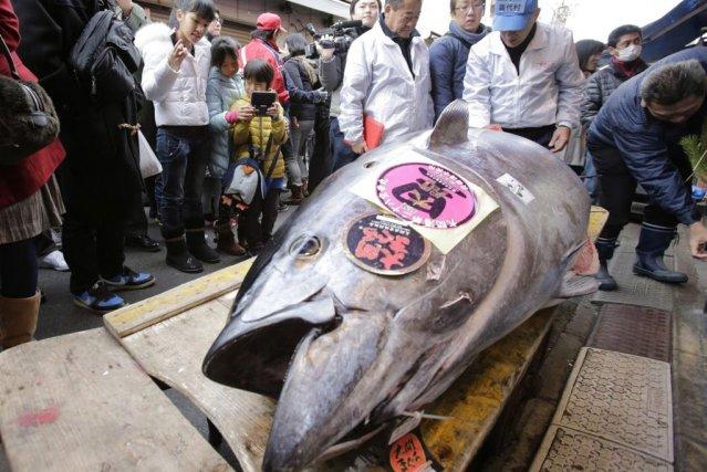 Ce poisson de230 kilos a été acheté pour... (Photo Shizuo Kambayashi, AP)