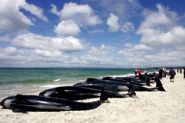 Un groupe de 39 baleines a trouvé la mort sur une plage de Nouvelle-Zélande où... (Photo archives AFP)